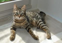 épilepsie-du-chat-gestation