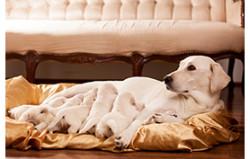 reproduction et gestation du chien épileptique