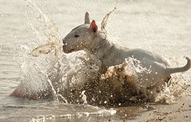 Le tournis ou « spinning » du bull terrier