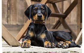 Les tremblements de tête idiopathiques (ou head tremor syndrome) chez le chien