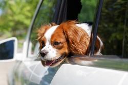 en voyage avec un chien épileptique