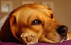 beagle-278x177