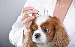 acupuncture épilepsie chien