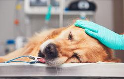 anesthésie chien épileptique